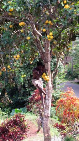 Man Climbing Orange Tree