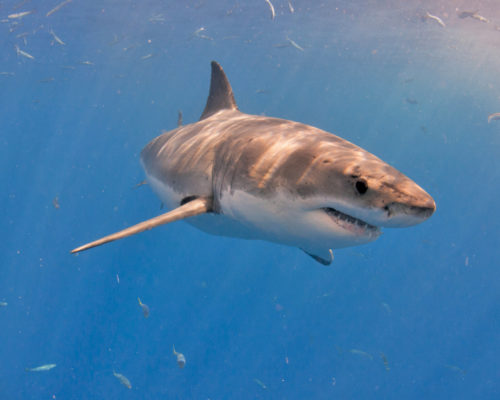 Great White Sharks in the Florida Keys