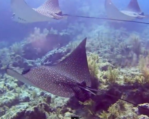 Spotted Eagle Rays in Key Largo