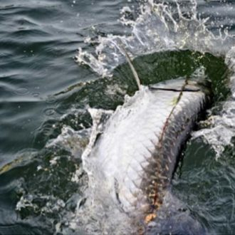 A Tarpon Ate it…