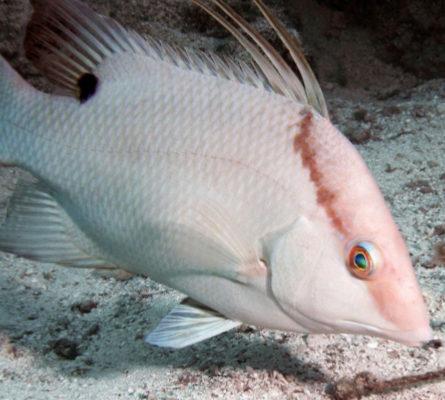 Hogfish: Conch-Cuban Style with Fresh Muddled Mojo